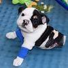 Découvrez Bonsai : « un demi bulldog, mais le double d'amour » !