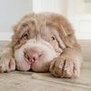 Rencontrez Tonka, le chien qui ressemble à un ours