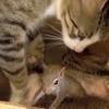 Une chatte adopte un bébé écureuil